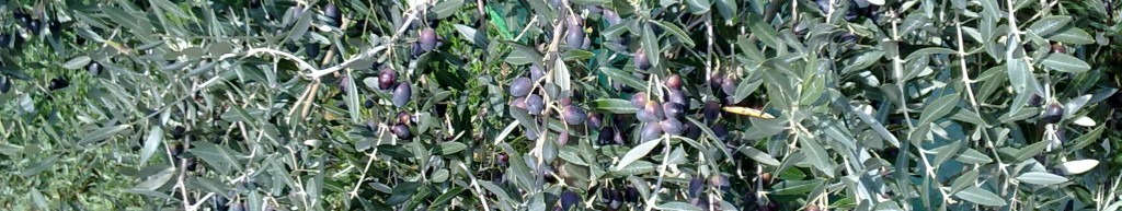 Olive olio agriturismo biologico peretti